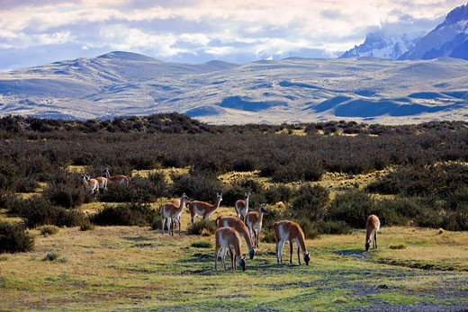 Stock Photo: 1597-59383 Chile, South America, March 2009, Chilean Patagonia, Torres del Paine National Park, landscape, scenery, nature, mountains, Guanacos, animals, herd
