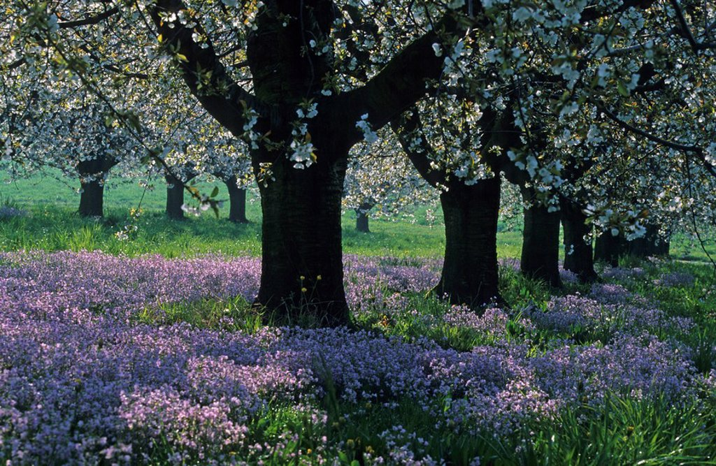 Arisdorf, Switzerland, Canton of Basel country, blossoming cherry trees, meadow flowers, lady´s smock, Cuckoo Flower, springtime, spring, Landscape, scenery, nature, scenic, blossom, fruit trees : Stock Photo