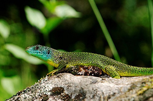 Stock Photo: 1597-60143 lizard, lizards, western green lizard, green lizard, Lacerta b. bilineata, reptile, reptiles, Portrait, protected, threadened, indigenous, scale, scales, green, blue, yellow, animal, animals, fauna, wildlife, wild animal