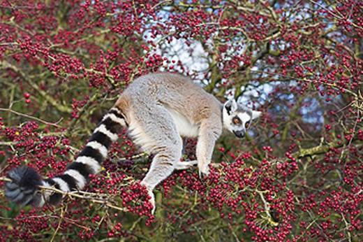 Ring tailed lemur in tree, in captivity PR : Stock Photo