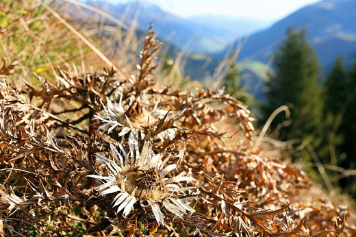 Switzerland, Europe, Carlina acaulis, Outdoor, Outdoors, Outside, landscape, alpine, mountain, mountains, Canton Griso : Stock Photo