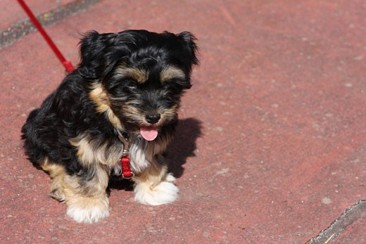 Stock Photo: 1597-62275 Havanese dog, puppy, young, animal, animals, pet, pets, outdoor, outdoors, outside, one, cute, breed, dogs, leash