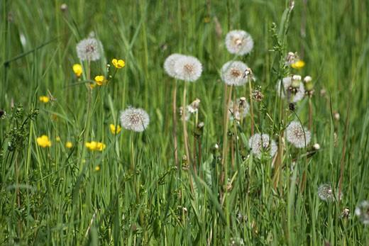 Meadow, flowering, pasture, nature, flowers, flower, blooming, buttercup, Ranunculus, spring, springtime, Taraxacum, D : Stock Photo