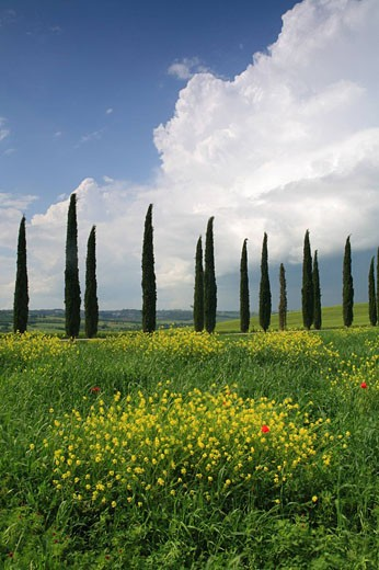 Italy, Europe, Tuscany, Toscana, hills, hill, scenery, landscape, nature, landscape, poppies, cypresses, poppy, corn p : Stock Photo