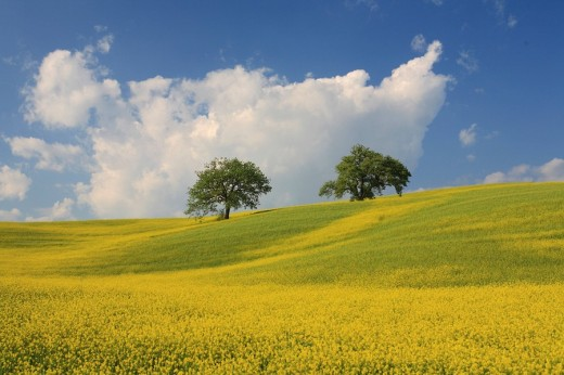 Stock Photo: 1597-63767 Italy, Europe, Tuscany, Toscana, hills, hill, scenery, landscape, nature, landscape, field, rape field, tree, oak, spr
