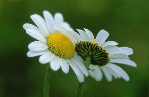 flower, flowers, blossom, flourish, blossoms, flourishes, chrysanthemum leucanthemum, Close up, Daisy, detail, sprin : Stock Photo