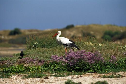 Stock Photo: 1597-70763  White stork, Ciconia ciconia, Animal, An