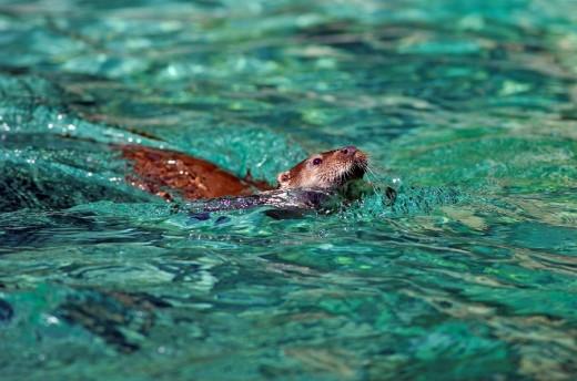 European otter, Lutra lutra, Animal, Ani : Stock Photo