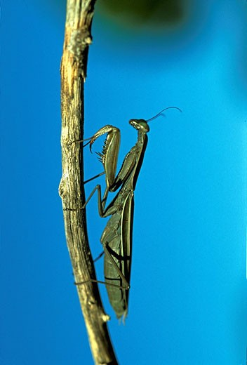 European mantis, Praying mantis, Souther : Stock Photo