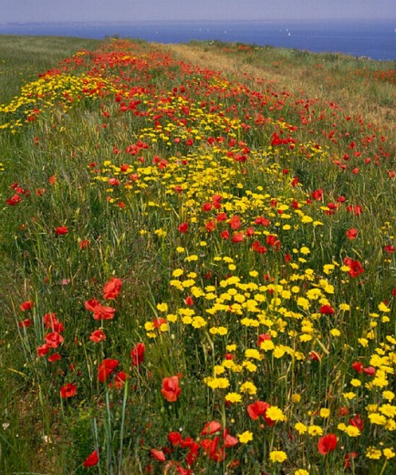 flowers, flower meadow, botany, Dorset, England, Great Britain, Europe, yellow, Great Britain, coast, scenery, sea, : Stock Photo