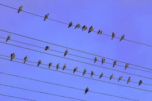 sky, wires, sit, power supply lines, cables, pigeon, pigeons, animal, beast, animals, beasts, bird, birds, : Stock Photo