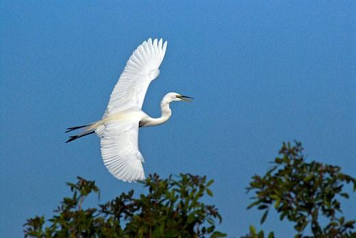 Great Egret, Ardea alba, Casmerodius alb : Stock Photo