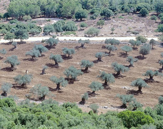 Stock Photo: 1597-73347  Israel, Galilee, olive trees, Mount Tabo