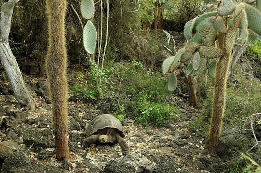 Ecuador, Giant Tortoise, Geochelone elep : Stock Photo