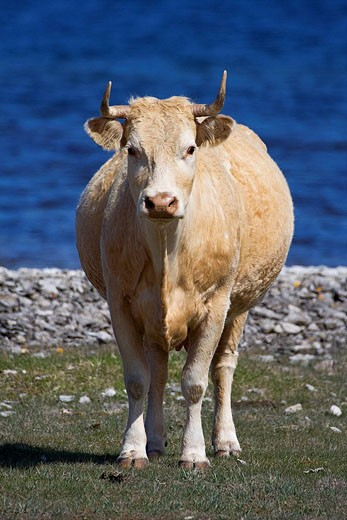 Cow, Lake, Milk, Sea, Stone, Water, Shor : Stock Photo