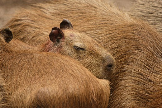 Capybara, Amazon rainforest, Amazonia, J : Stock Photo