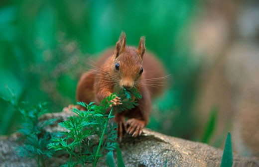 Eurasian red squirrel, Sciurus vulgaris, Europe, F : Stock Photo