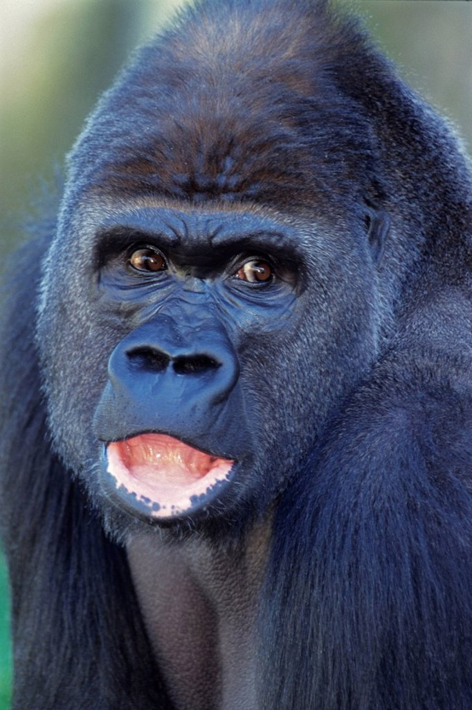 Stock Photo: 1597-76041 Western plain gorilla, gorilla gorilla, monkey, Porträit, ape, animal, beast,