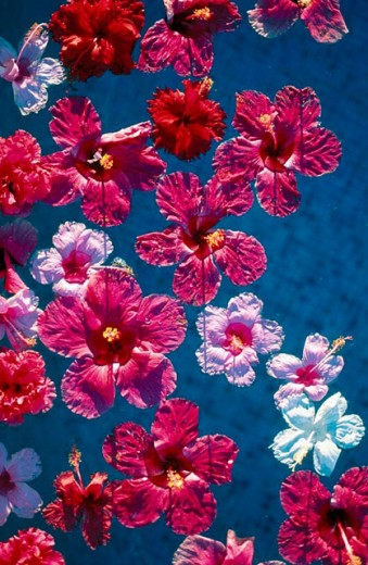 Stock Photo: 1597-7867  Acapulco, bleeding, Hibiscus, Mexico, Central America, Latin America, pool, pink, red, many,