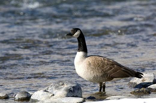 Canada Goose, Branta canadensis : Stock Photo