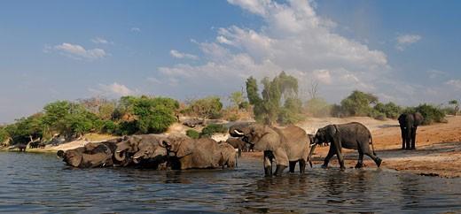 Panorama, Elephant, Loxodonta africana, Chobe River, Chobe National Park, Kasane, Botswana, Africa, : Stock Photo