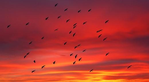 Birds, flying, Chobe River, Sunset, Kasane, Botswana, Africa, : Stock Photo