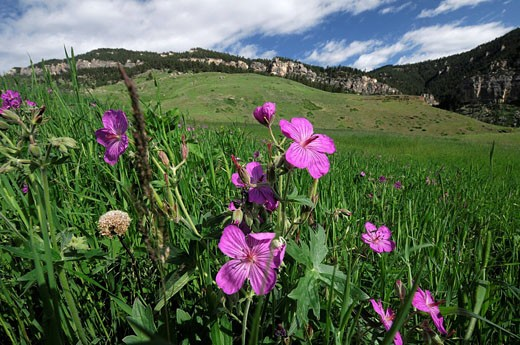 wild flowers, flowers, in Tongue River Canyon, Dayton, Wyoming, USA : Stock Photo