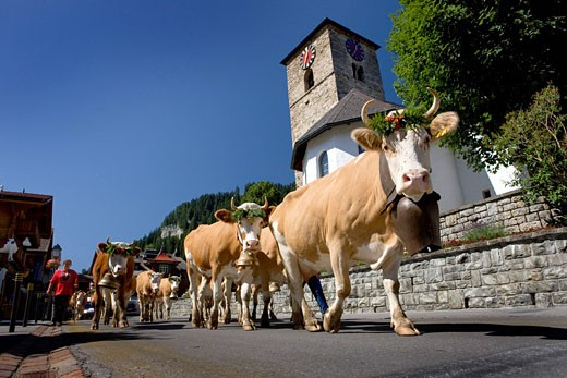 Stock Photo: 1597-82527 Kuhherde in Adelboden