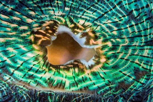 Stock Photo: 1597-83255 Mantel einer Mörder_Muschel, Tridacna Squamosa, Mikronesien, Palau, Mantle of Giant Clam, Tridacna Squamosa, Micronesia, Palau