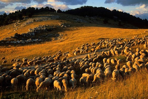 Mont Ventoux, France, Provence, Vaucluse, mountain, nightmare, f, of sheep, sheep, clouds, evening light : Stock Photo
