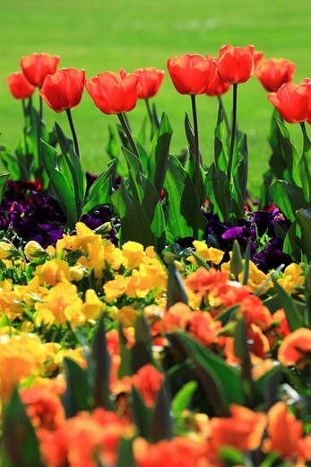 Flowers, blossom, flourish, flower splendour, Germany, field, freshness, spring, garden, garden plant, island, isle, Mainau, Constance, Mainau, pattern, sample, nature, plant, splendour, Tulipa, tulip, tulips, vegetation, violet, viola, agriculture, brigh : Stock Photo