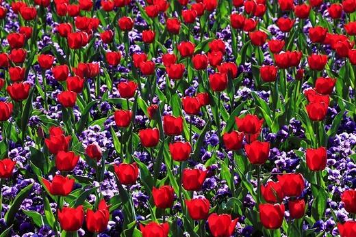 Flowers, flowers, blossom, flourish, flower splendour, flower magic, Germany, field, freshness, spring, garden, garden plant, island, isle, Mainau, Constance, Mainau, pattern, sample, nature, plant, splendour, Tulipa, tulip, tulips, vegetation, violet, vi : Stock Photo