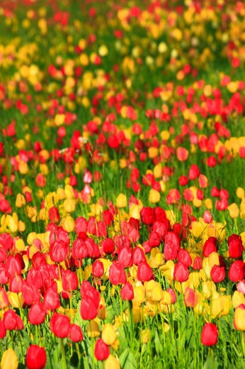 Stock Photo: 1597-87374 Flowers, flowers, blossom, flourish, flower splendour, flower magic, Germany, field, freshness, spring, garden, garden plant, island, isle, Mainau, Constance, Mainau, pattern, sample, nature, plant, splendour, Tulipa, tulip, tulips, vegetation, magic, agr