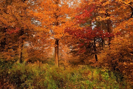 Colorful leaves, trees, Fall, colours, colors, at Lower Lake, Promised Land State Park, Pennsylvania, USA : Stock Photo