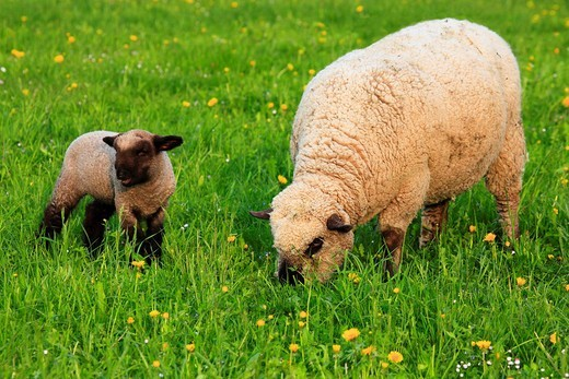 Stock Photo: 1597-89477 agrarian, farm company, farm, tree, flowers, blossom, flourish, flower splendour, brown head, trees, food, eatings, field, fur, meat, flora, spring, bell, agrarian, domestic animal, pet, young, Jung´s animal, agriculture, mother, ewe, food, nature, Oetwil