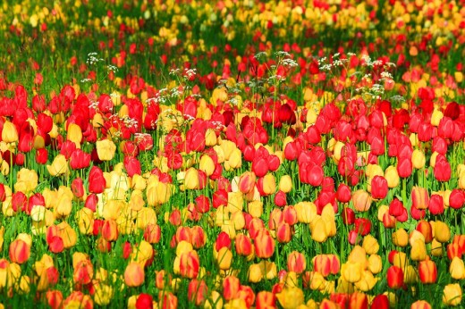 Flowers, flowers, blossom, flourish, flower splendour, flower magic, Germany, field, freshness, spring, garden, garden plant, island, isle, Mainau, Constance, Mainau, pattern, sample, nature, plant, splendour, Tulipa, tulip, tulips, vegetation, magic, agr : Stock Photo
