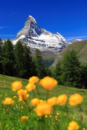 Stock Photo: 1597-91906 Matterhorn mit Trollblumen, Wallis, Schweiz
