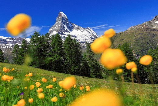 Matterhorn mit Trollblumen, Wallis, Schweiz : Stock Photo