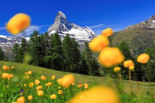 Stock Photo: 1597-92032 Matterhorn mit Trollblumen, Wallis, Schweiz