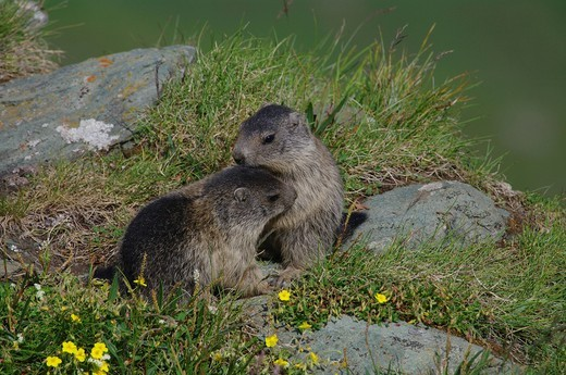 Austria, Upper Tauern, animals, mamal, alps animal, marmot, squirrel, rodent, earthwork, alps, pup : Stock Photo