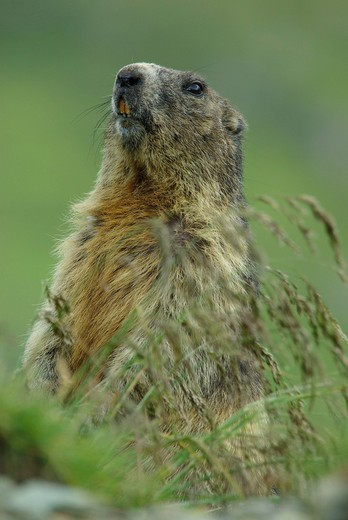 Austria, Upper Tauern, animals, mamal, alps animal, marmot, squirrel, rodent, earthwork, alps : Stock Photo