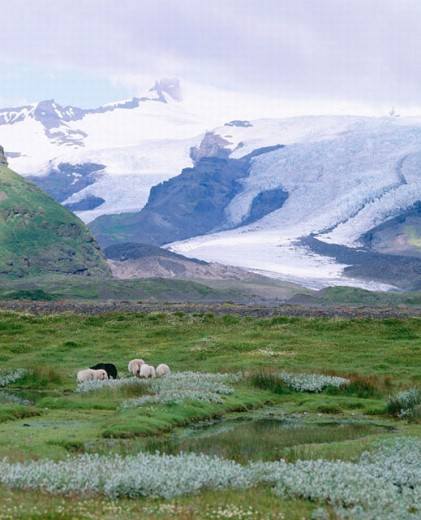mountains, Iceland, scenery, moor, sheep, snow, Skaftafell, Vatnajökull glacier, : Stock Photo