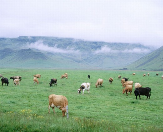 Stock Photo: 1597-9364  near Akureyri, grass scenery, Iceland, cows, cow´s stoves, scenery, bad weather,