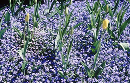 flowers, flower_garden, spring, spring flowers, garden, cushion, mauve, plants, upholsterers, tulips, : Stock Photo