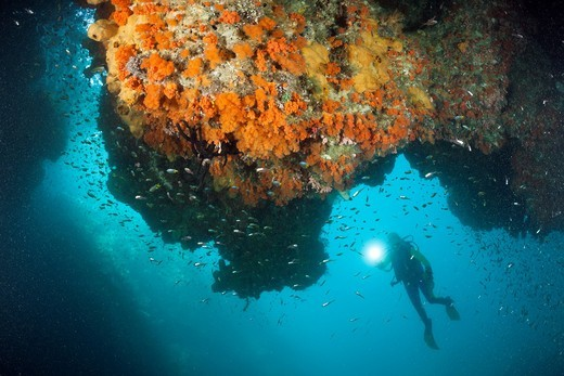Scuba Diver watching Corals in Grotto, Raja Ampat, West Papua, Indonesia : Stock Photo