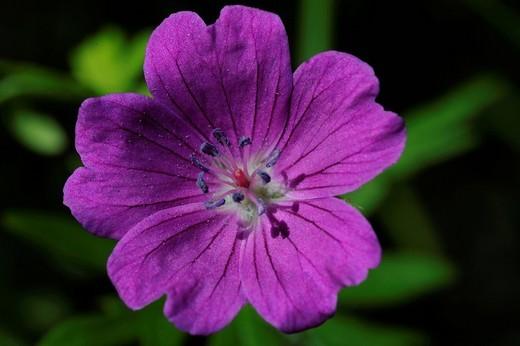 Stock Photo: 1597-95544 Bloody Cranesbill, geranium sanguineum, blossom, flourish, flower, Untervaz, Graubünden, Grisons, Switzerland, Europe, flower