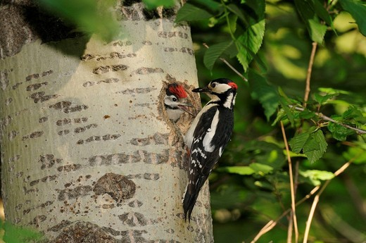 Great Spotted woodpecker, Dendrocopus major, bird, woodpecker, brood cave, manly, young bird, Domat_Ems, Graubünden, Grisons, Switzerland, Europe, : Stock Photo