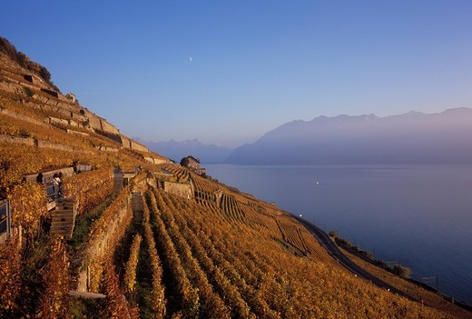 Stock Photo: 1597-95615 Switzerland, Europe, Dézaley, Désaley, Vaud, Lavaux, rob, Wt, autumn, wine, wine cultivation, vineyards, Lac Léman, lake Geneva, lake,