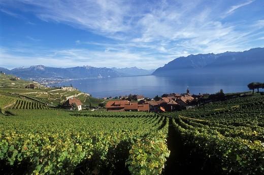 Stock Photo: 1597-95653 Switzerland, Europe, Dézaley, Désaley, vintage, wine, wine cultivation, vineyards, vineyards, autumn, winegrower, Vaud, Lavaux, Lac Léman, lake Geneva, Clos des Moines