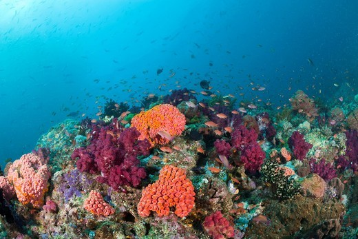 Stock Photo: 1597-95690 Colorful Coral Reef, Raja Ampat, West Papua, Indonesia